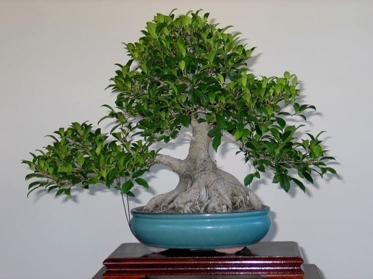 Ficus ginseng rinvasare