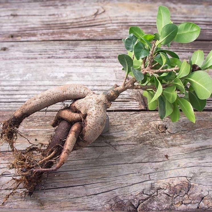 Ficus ginseng foglie