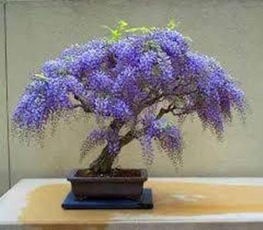 Glicine bonsai piante bonsai coltivazione glicine bonsai for Glicine bonsai prezzo