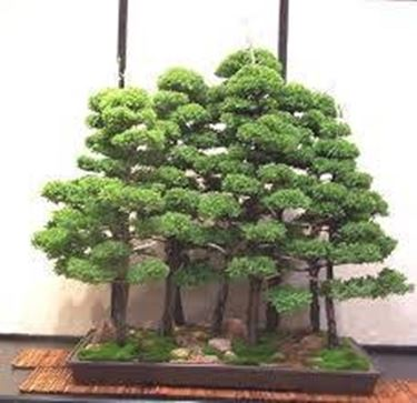 bonsaiboschetto