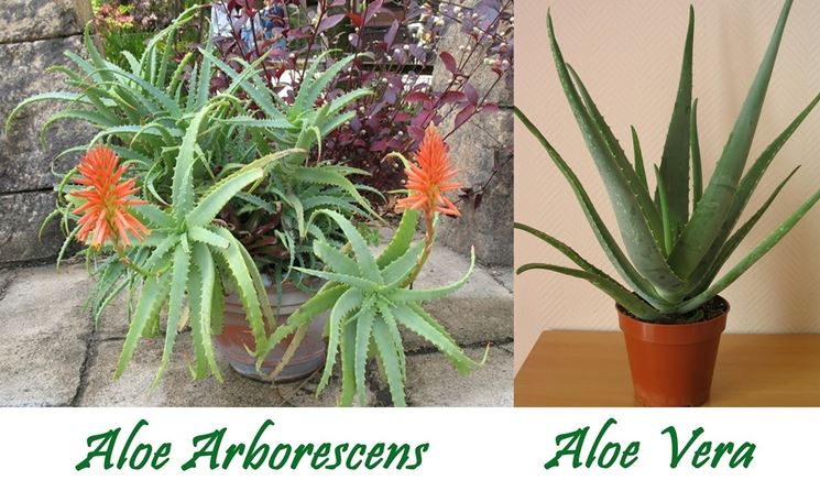 aloe arborescens in vaso