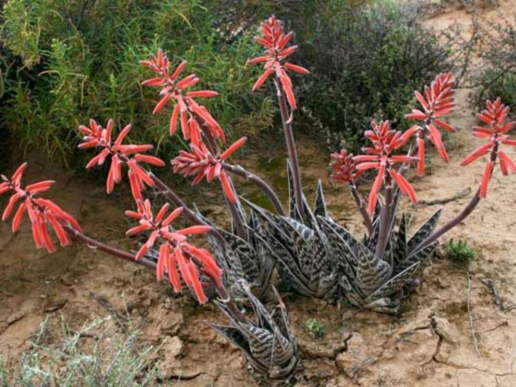 aloe variegata 3