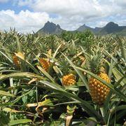 ananas coltivazione