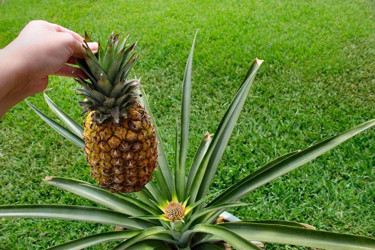 coltivazione ananas2