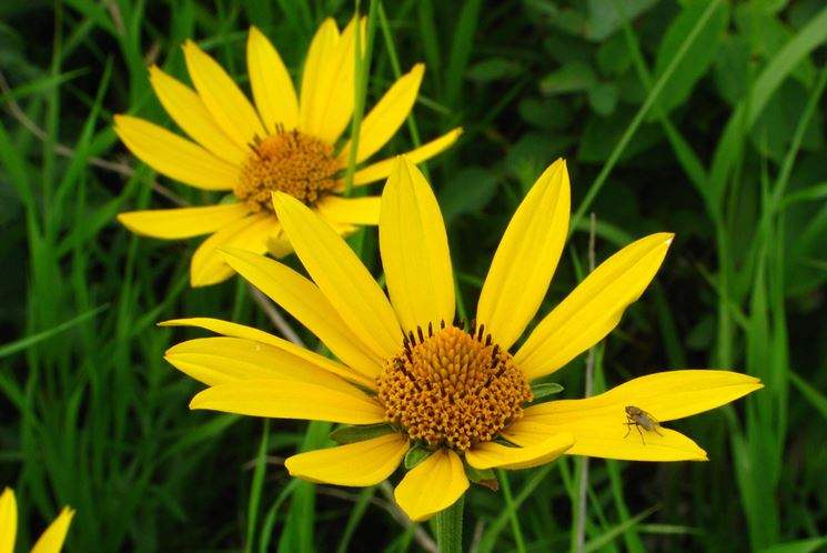 arnica montana fiore
