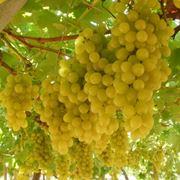 L'uva per purificare la pelle