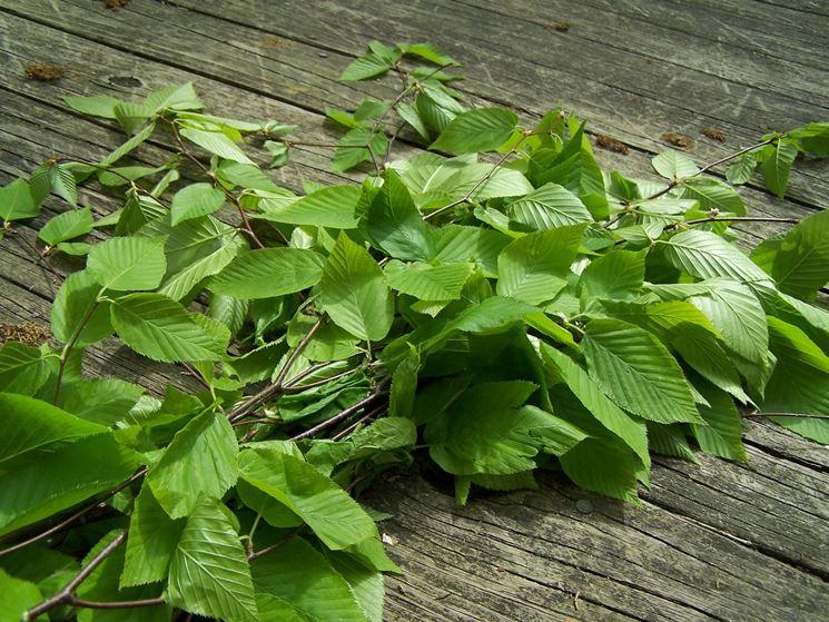 betulla foglie