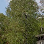 albero di betulla
