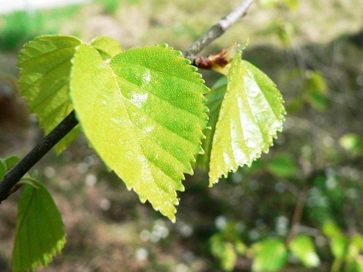 foglie di betulla