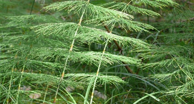 pianta di equiseto