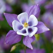 aquilegia fiore
