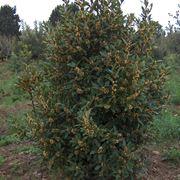 albero di alloro
