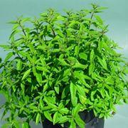 limonina pianta