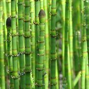 equiseto pianta
