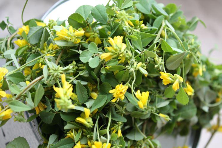 fieno greco fiore giallo