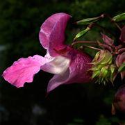 L�Impatiens ha un colore che sfuma dal bianco al lilla.[fonte: me stesso]