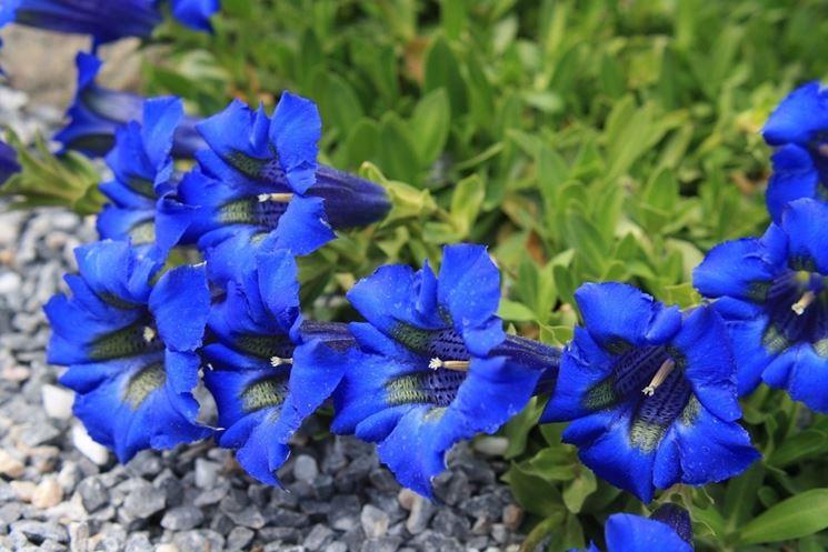 genziana blu