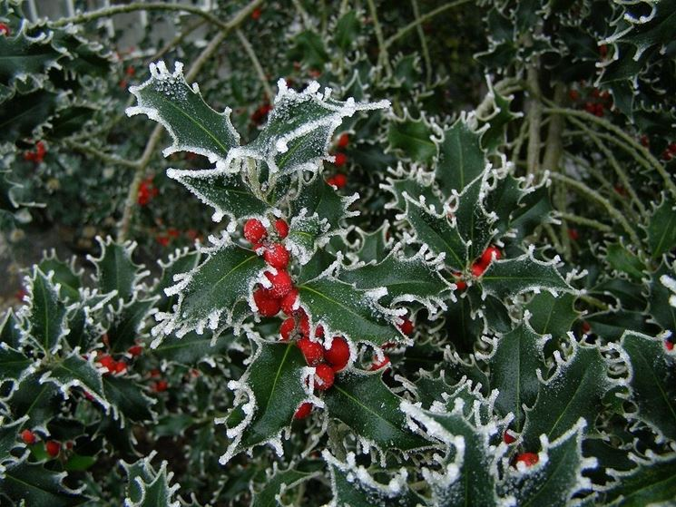Holly o Agrifoglio o Ilex Aquifolium