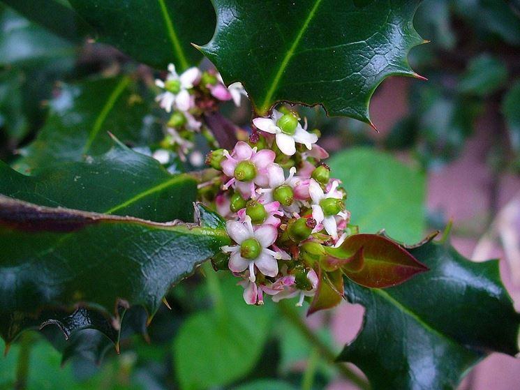 Fiore di Ilex Aquifolium