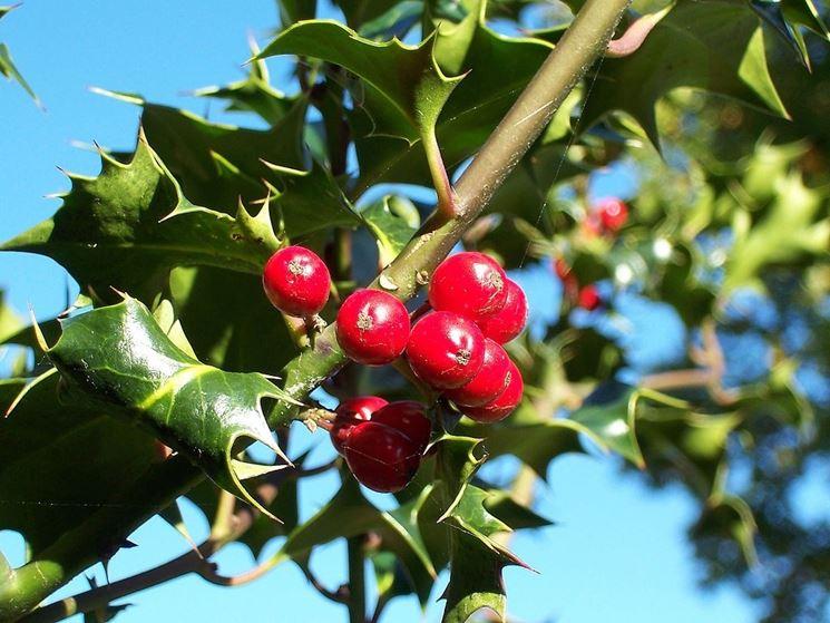 Holly con frutti