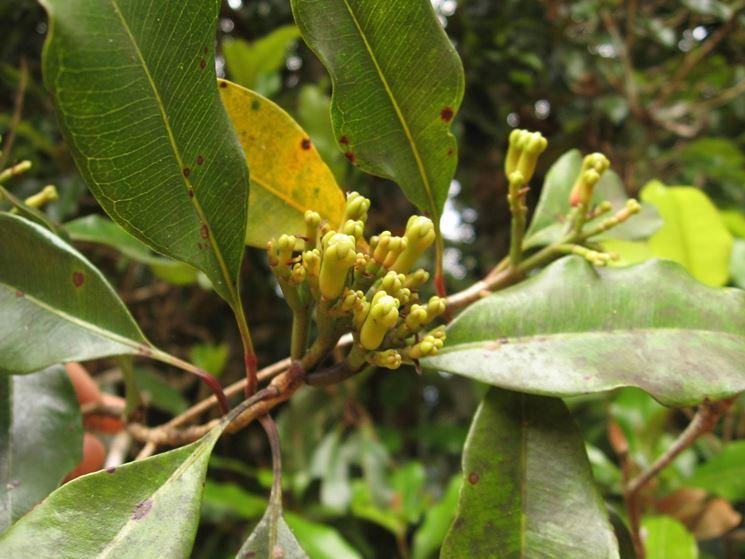 Chiodi di garofano ancora attaccati alla pianta madre