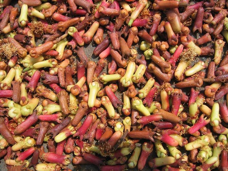Chiodi di garofano appena raccolti