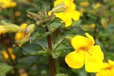 Mimulus è uno splendido fiore dal colore giallo acceso che infonde immediata energia e calore.