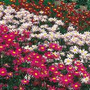 fiori di piretro colorati