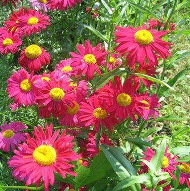 fiori rosa di piretro