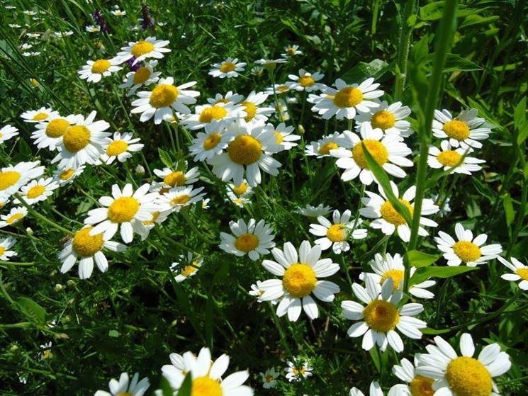 fiori bianchi e pianta di piretro