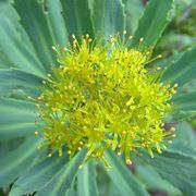 rodiola pianta