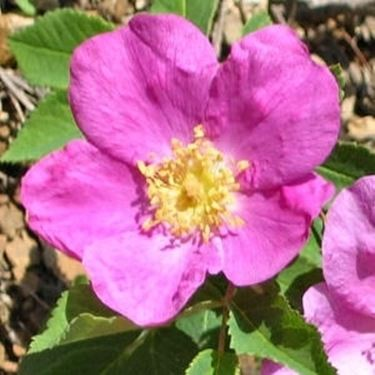 Rosa selvatica