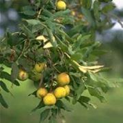 sorba frutto