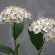 spirea ulmaria fiore