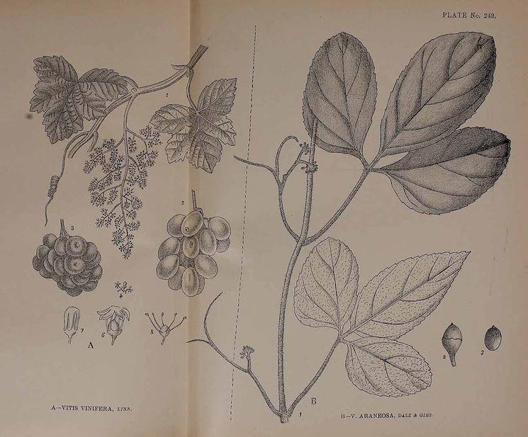 Disegno botanico di vitis vinifera