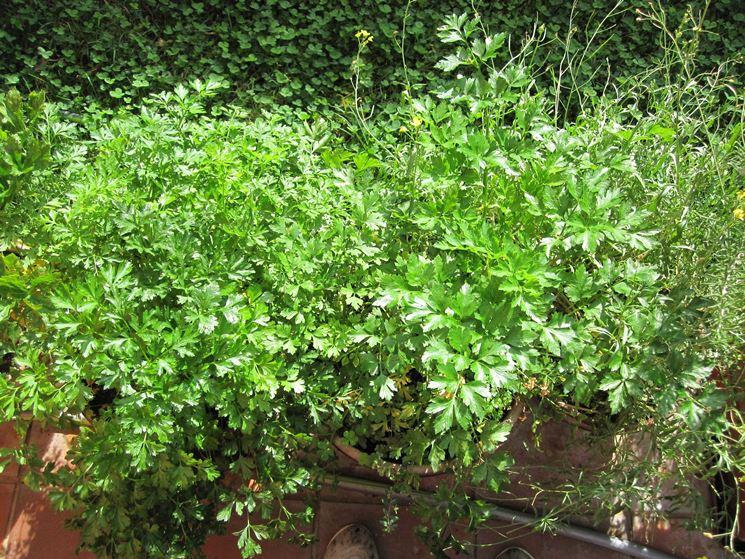 Rigogliosa pianta di prezzemolo