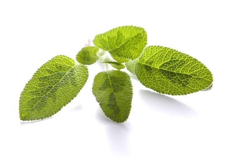 Salvia a foglie dorate