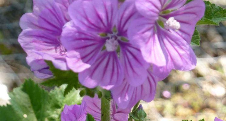 fiore di malva sylvestris