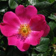 Siepe di rosa canina