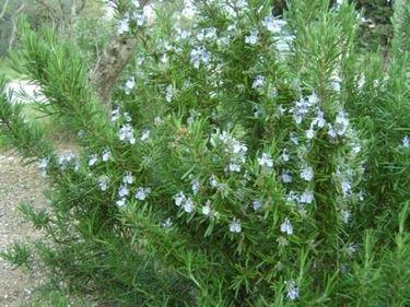 Il Rosmarinus officinalis
