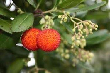 Bacche e frutti di corbezzolo