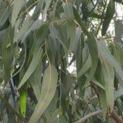 La pianta di eucalipto da cui si ricava l'olio essenziale