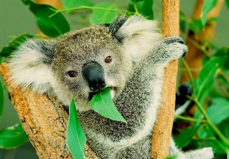 Il Koala, l'animale che si nutre solo di foglie di eucalipto
