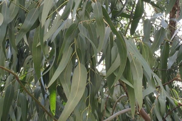 Eucalipto olio essenziale oli essenziali olio essenziale di eucalipto - Bagno turco raffreddore ...