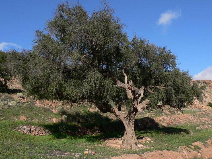 Semi del frutto di Argania spinosa