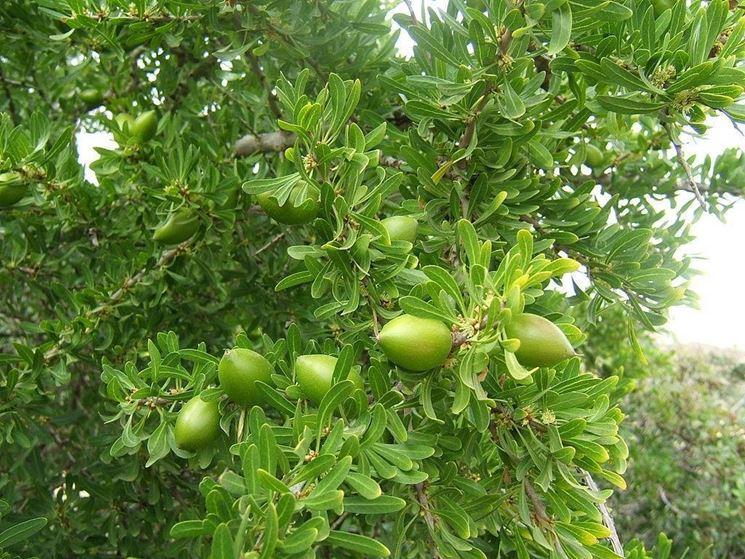 Frutti dell'Argania spinosa