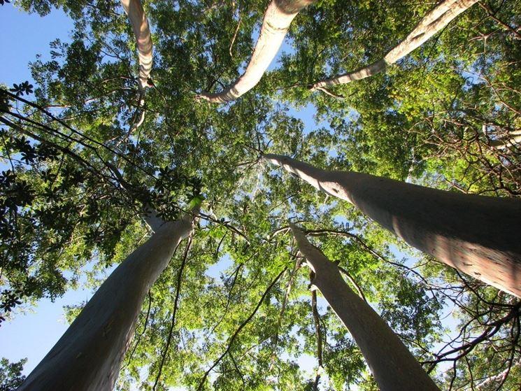 Alberi di eucalipto.