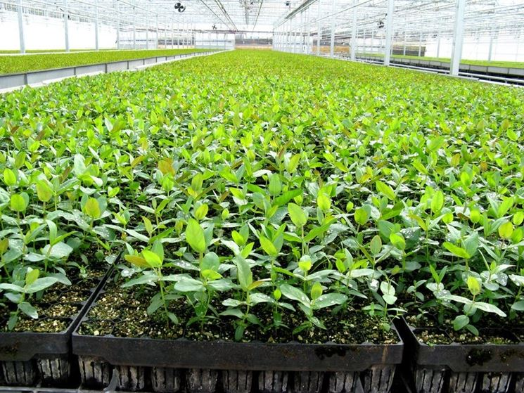 Giovani piante di eucalipto.