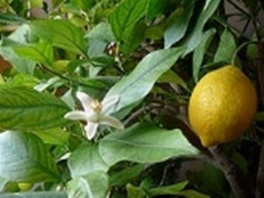 olio di limone