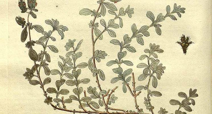 Illustrazione botanica di Origanum majorana